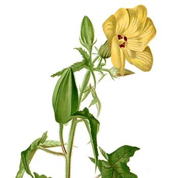 Ambrette - Hibiscus abelmoschus