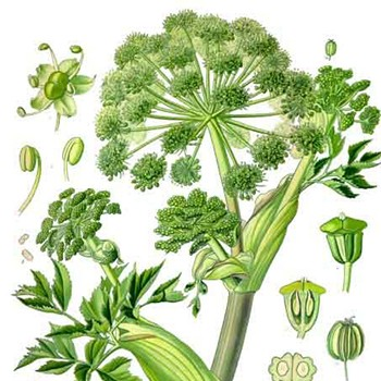 Angelica - Angelica archangelica