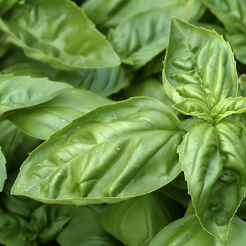 Basil - Ocimum basilicum