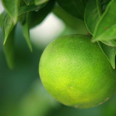 Bergamot - Ctirus aurantium var. bergamia
