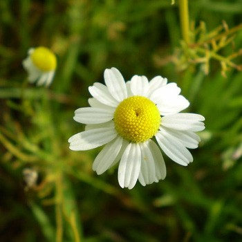 Chamomile - Anthemis nobilis