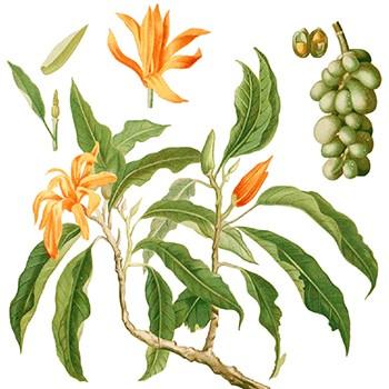 Champaca - Michelia champaca