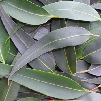 Eucalyptus - Eucalyptus citriodora