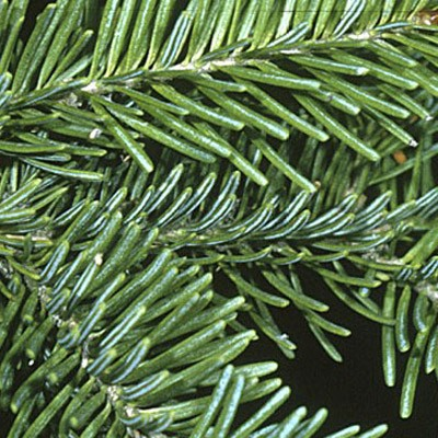 Douglas Fir - Pseudotsuga menziesii