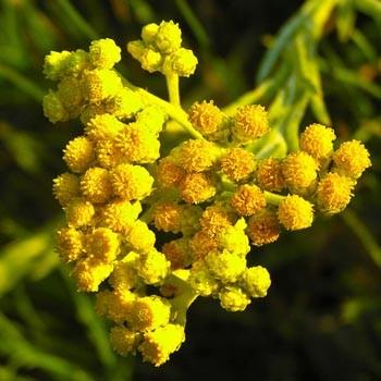 Immortelle - Helichrysum italicum