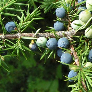 Juniper - Juniperus communis