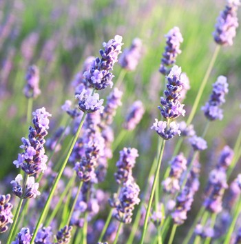 Lavender - Lavandula angustifolia