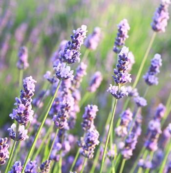 Lavender - Wild