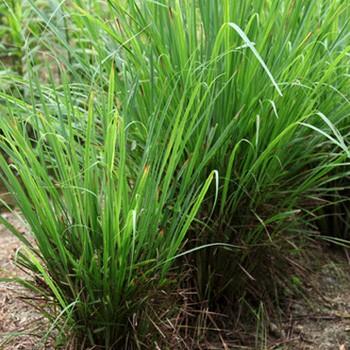 Lemongrass - Cymbopogon citratus