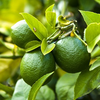 Lime - Citrus aurantifolia