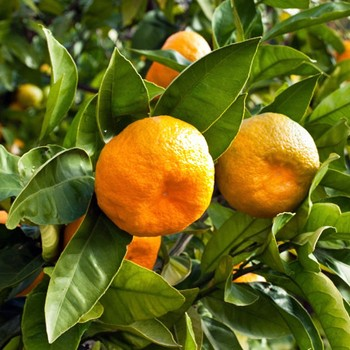 Mandarin - Citrus reticulata var. mandarin