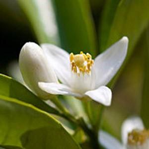 Petitgrain - Citrus aurantium var. amara