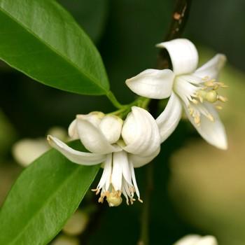 Orange Blossom - Citrus aurantium