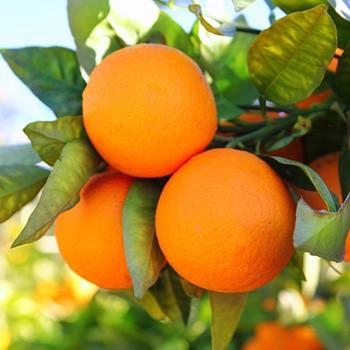 Orange - Citrus aurantium var. amara