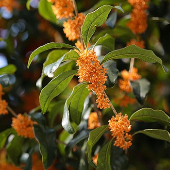 Osmanthus - Osmanthus fragrans, Photo by Laitr Keiows
