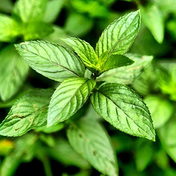 Peppermint - Mentha piperita
