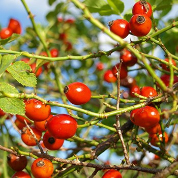 Rose Hip - Rosa canina