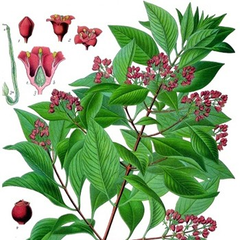Sandalwood - Santalum astrocaledonicum