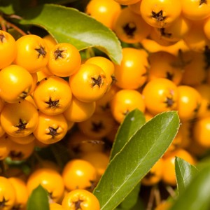 Sea Buckthorn CO2, Organic