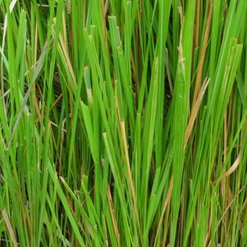 Vetiver - Vetiveria zizanioides