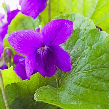 Violet Leaf - Viola odorata