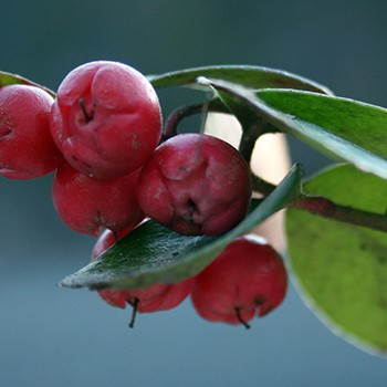 Wintergreen - Gaultheria fragrantissima