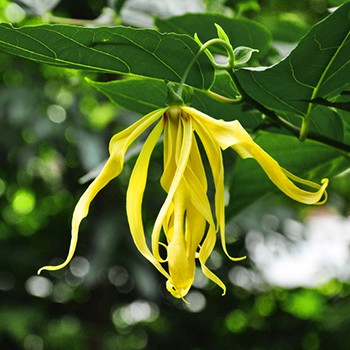 Ylang Ylang - Cananga odorata