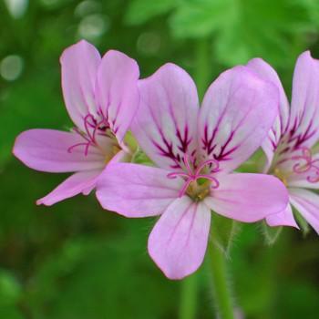 Risultati immagini per pelargonium roseum