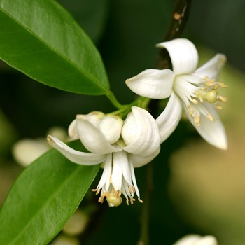 Orange Blossom Absolute For Natural Perfumery